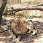 Elder lion at at Moholoho.