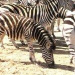 Zebra at Moholoho.