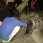 A student feeding a carrot to the porcupine.
