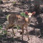 Female nyala outside of our cabin at Moholoho.