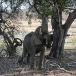 Elephants eating leaves from a tree.