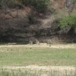 An unbelievable siting: a lion with several lionesses on the other side of the river bank!