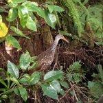 Limpkin at Corkscrew Swamp