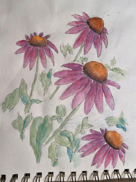 Echinacea sketch